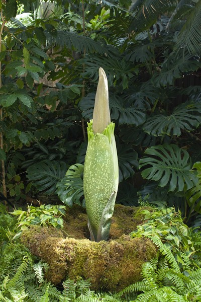 Rare Corpse Flower set to bloom at Frederik Meijer Gardens ...