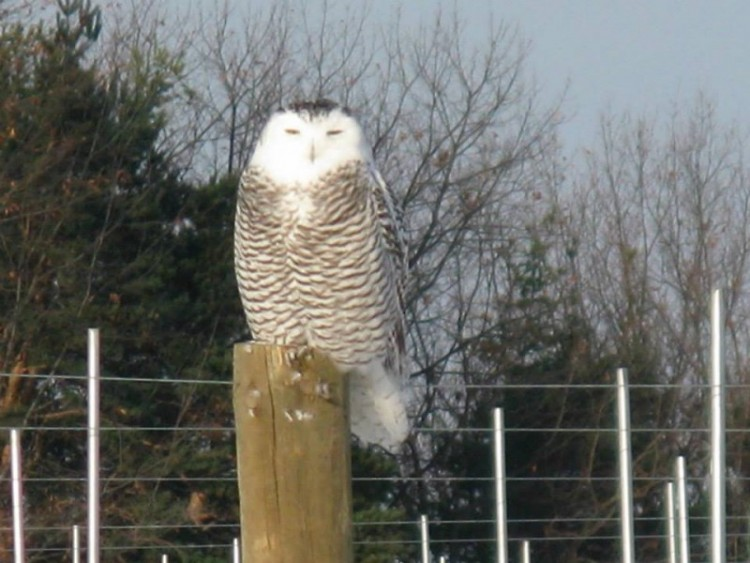 Snowy owl spotted on a farm in Grand Rapids