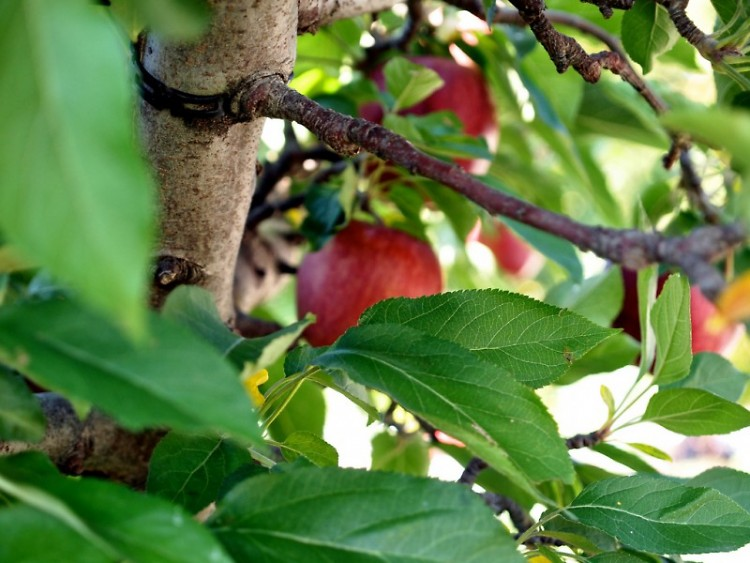 Thomas Street Neighborhood Garden choose apple, pear, cherry, plum, peach, and apricot trees for their mini orchard.