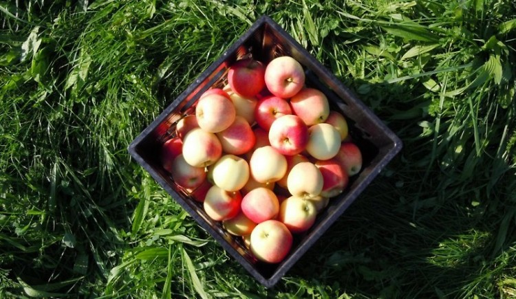 These apples were donated to the Food Bank in September by Bridgett Tubbs-Carlon of Ada.
