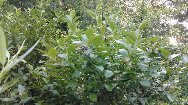 Crooked Lake Marsh is a popular spot for picking wild blueberries.