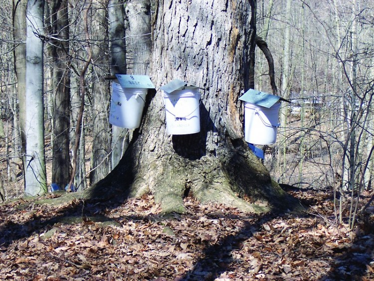 Blandford Nature Center Sugar Maples Tapped for Sap