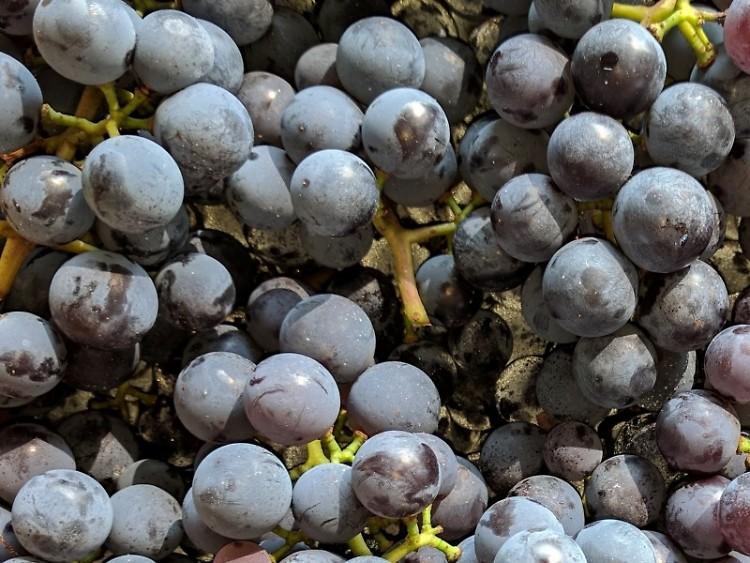 Michigan Grown Grapes