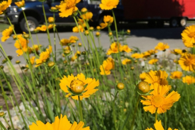 Coreopsis, a wildflower now growing in a curbside garden
