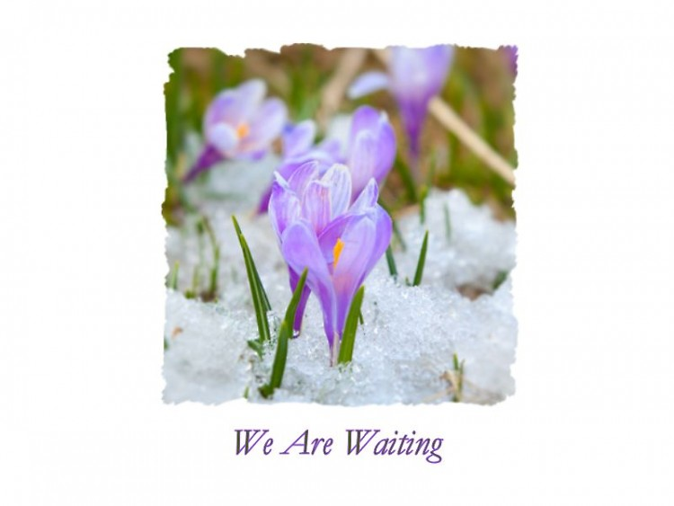 As the snow falls about us, the child-like crocus is anxious for spring.