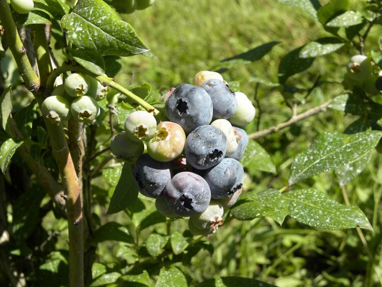 Almost ready blueberries at the centennial Lindberg family farm.