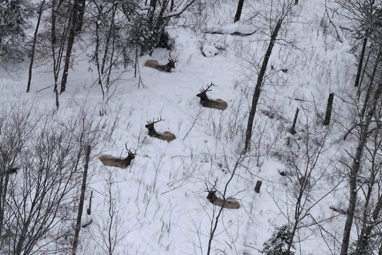 Michigan DNR pilot Neil Harri spotted this small herd of elk resting in the snow as he flew above the Gaylord area.