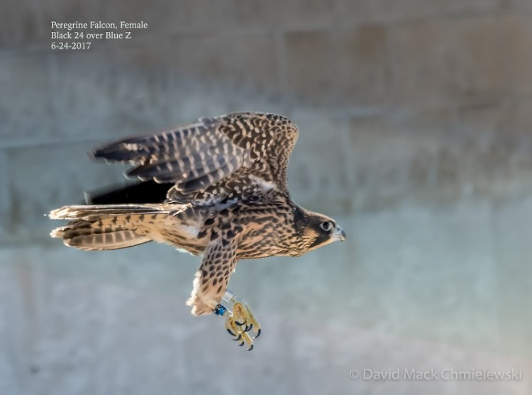 Peregrine falcon restoration is due to successfully breeding birds in captivity and releasing them into the wild.
