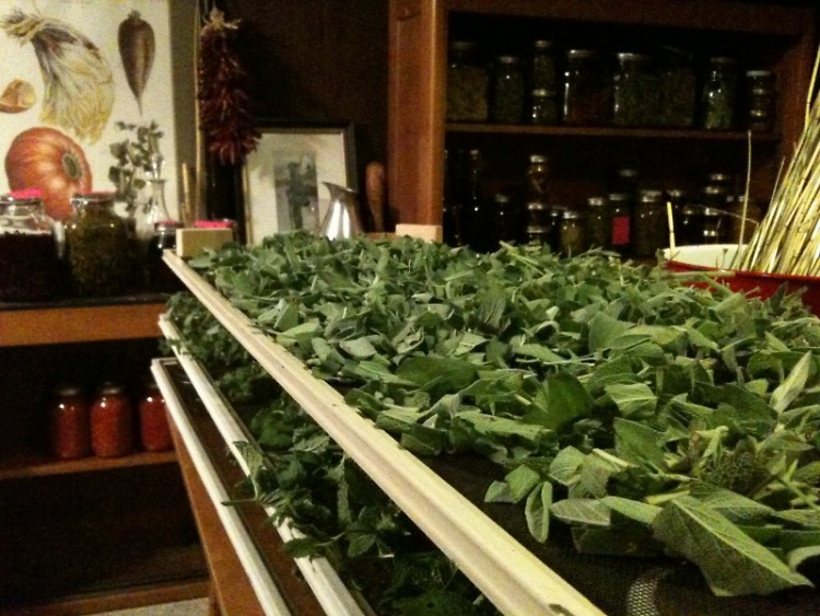 Sage and other garden herbs from Starner's gardens drying on screens