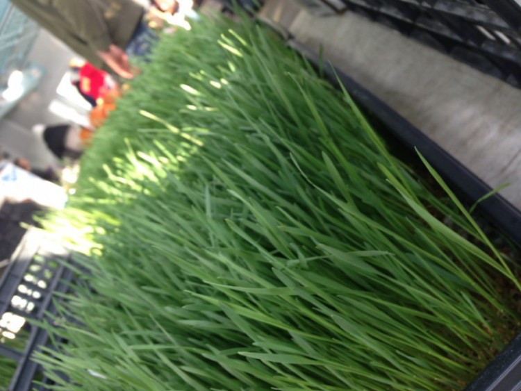 wheat grass, FSFM