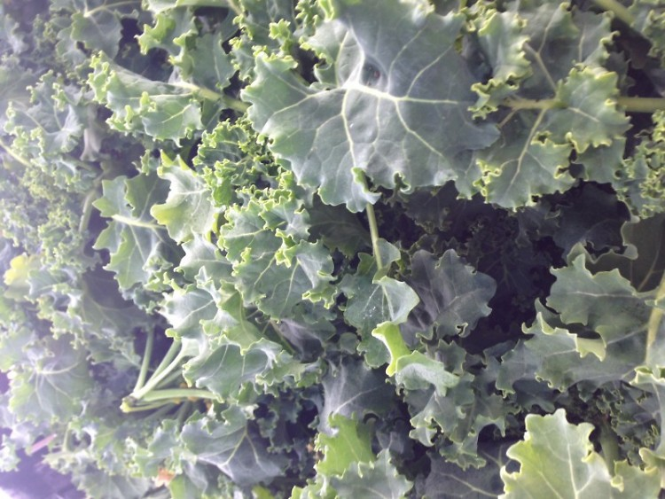 Winter Kale, grown in a Michigan greenhouse