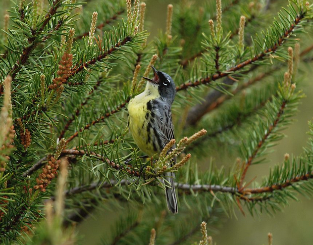Male Kirtland's warblers return to Michigan from the Bahamas in early May and court females with song.
