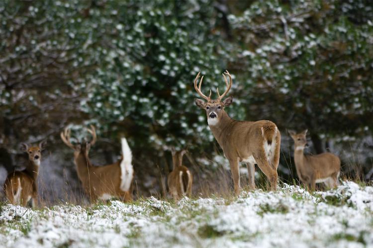 Improving habitat for white-tailed deer often helps improve habitat for species.