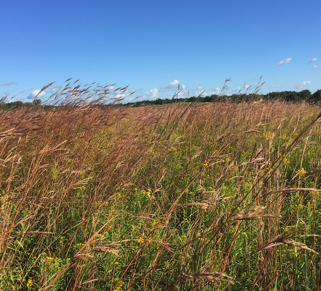 Restored grassland resulting from a partnership between National Wild Turkey Federation and Michigan DNR.
