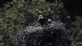 Today, there are about 800 nesting pairs of bald eagles in Michigan.