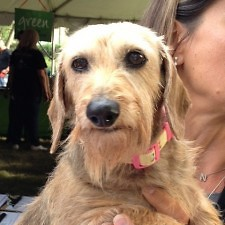 """Daisy the dachshund was the 2011 """"Blockstar"""" and attended this year's BISSELL Blocktail Party as well."""