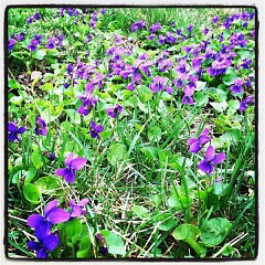 An early submission shows off violets taking over a spring yard.