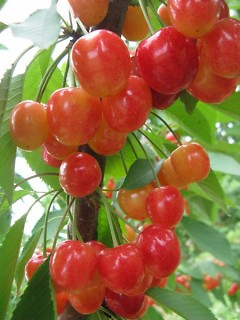 Fresh cherries only available to pickers