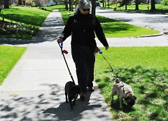 Frances Gentile walks Phineas, left, and Fergie in Grand Rapids.