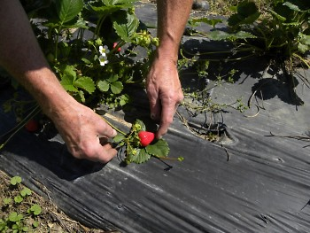 Roy Johnson shows off a ready-to-harvest strawberry