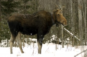Efforts to restore Michigan's moose herd have been in the works for nearly a century.