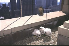 Peregrine falcons have adapted and made their own nesting spots atop tall buildings and bridges.
