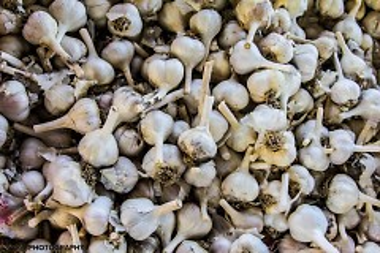 Michigan grown garlic