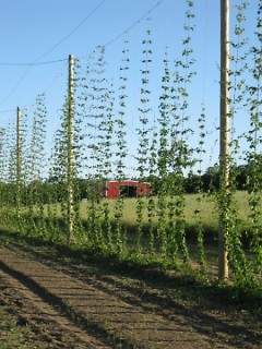Hops farm in Michigan