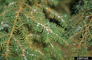 Forest ecosystems throughout the state could change as a result of Hemlock woolly adelgids, threatening habitat for wildlife.