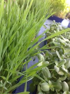Microgreens and Wheat grass at FSFM