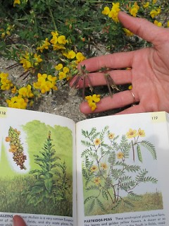 Starner using a plant ID guide in the field to learn new plants.