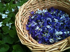 Violet flowers and leaves harvested from Starner's gardens.