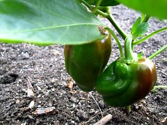 Bell peppers are among Eric's summer crops.