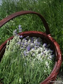 Harvesting Lavender stalks to be bundled and dried