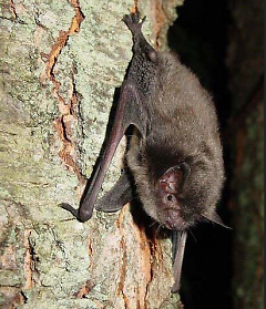 Indiana Bat: This species of bats numbers less than 300,000 in the world and is endangered.