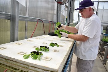 Lettuce plants are placed on rafts so that the roots can grow in the nutrient-enriched water.