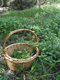 Author's stinging nettle foraging around Grand Rapids