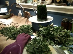 Prepping Mud Lake Farm nettles for drying, steeping an infusion