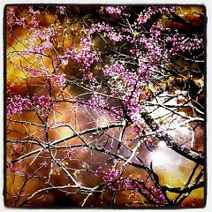 Red bud tree over the river at Aman Park
