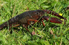 Red swamp crayfish can walk two miles over land in search of food and shelter.