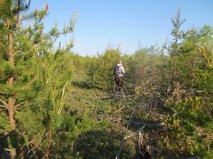 Volunteers walk through Kirtland's warbler breeding habitat listening for singing males during the annual census.