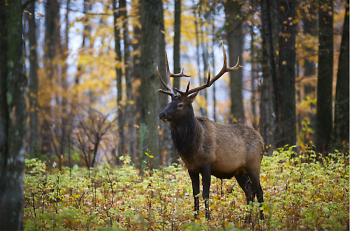 Thanks to careful wildlife management, Michigan's elk population celebrated its 100th anniversary in 2018.